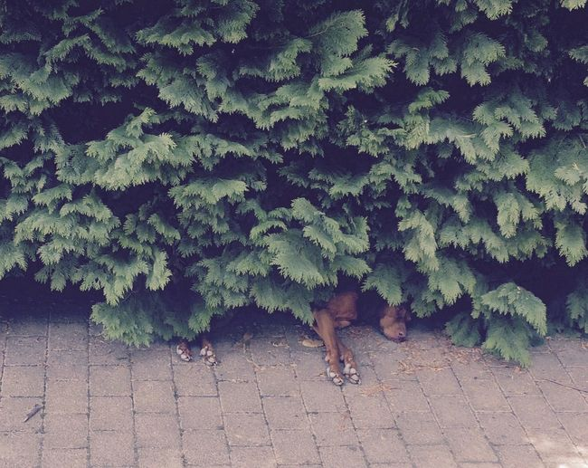 High Angle View Of Vizsla Sleeping Under Plants