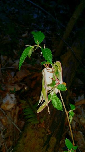 Mating Pair Of Butterfly Luna Moth Moths Insect Bugs Moth