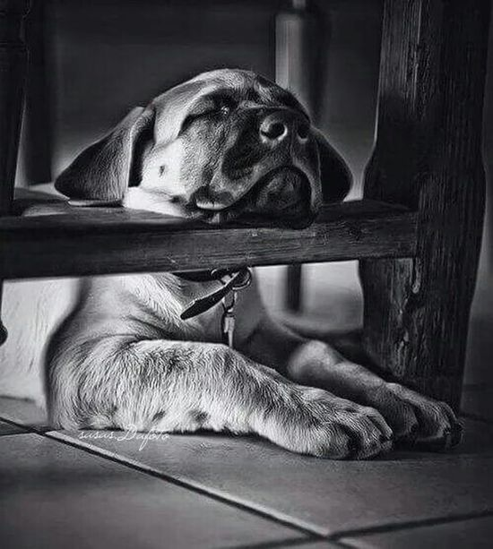 Sweet dream! Am a models for your camera phone, am like a star! Yes i am superstar. A Dogs Life I Love Dogs Dogsleeping Dogstyle Cute Dogs dogs with Black And White still using Monochrome Nice Views with nice dogs. It works babes! Muaaaccchhh