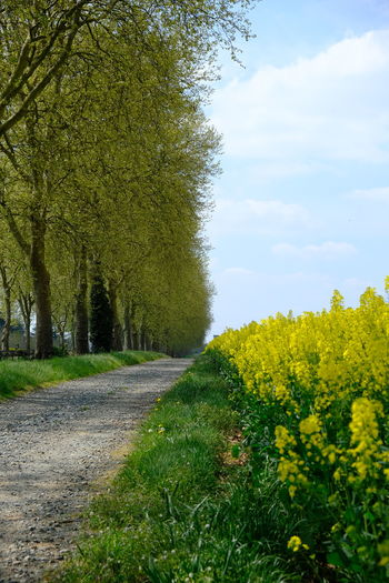 Scenic view of yellow flowering plants by road against sky