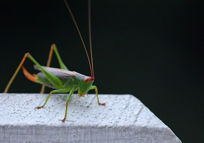 Grasshopper Crickets Insects  Insect Insect Photography Insect Paparazzi Bug Bugs Nature Nature Photography Canon Tennessee