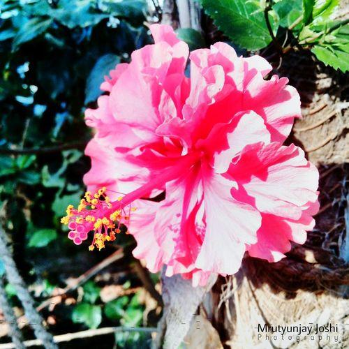 Hibuscus Syriacus Mrutyujay Joshi Photography
