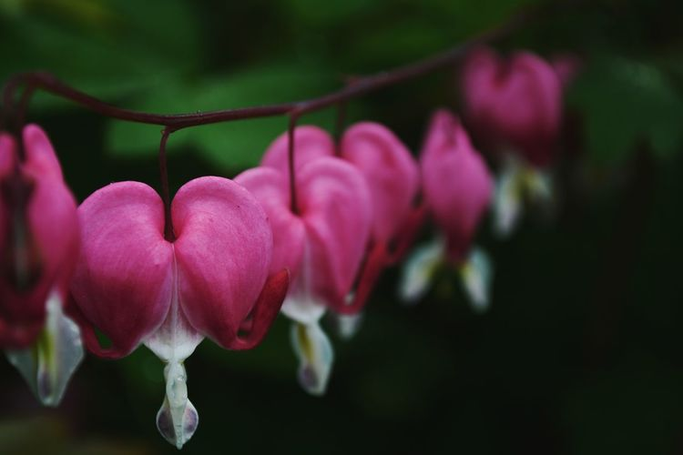 Bleeding Hearts of Ireland Freshness Bleeding Heart Flowers Macro Photography Flowers Pink Color Growth Nature Beauty In Nature Focus On Foreground Plant Flower Outdoors Day No People Ireland Blarney Castle Fragility Garden Nikon Nikonphotography Europe Travel Detail Leaves Bokeh