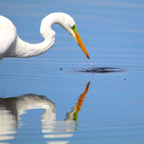 Animal Themes Animal Wildlife Animals In The Wild Beak Beauty In Nature Bird Close-up Day Flamingo Great Egret Lake Nature No People One Animal Outdoors Water