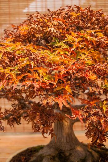 Autumn Beauty In Nature Bonsai Bonsai Tree Change Close-up Day Leaf Nature No People Orange Color Plant Scenics Tree