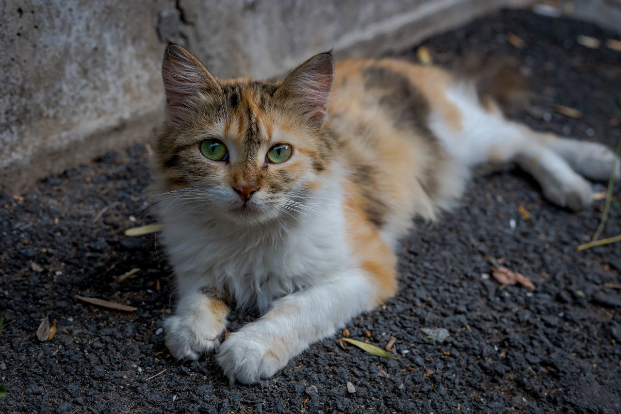 Portrait Of Cat Lying On Street