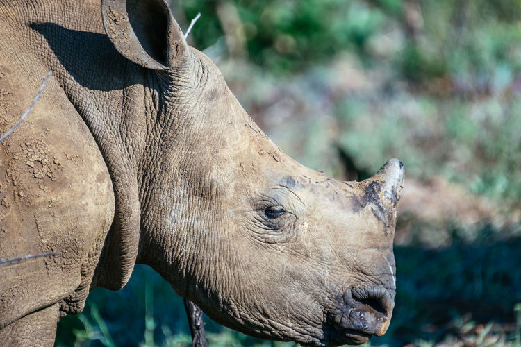 Close-up of rhinoceros outdoors