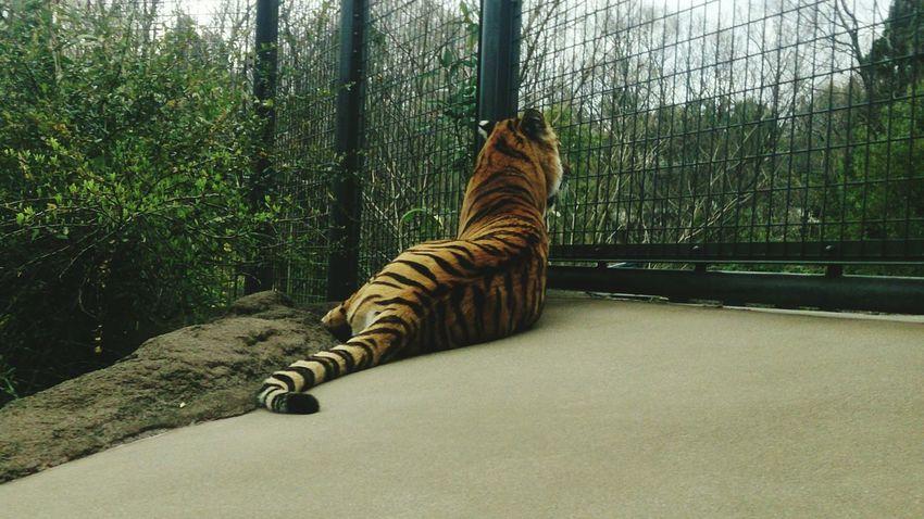 Tiger 後ろ姿