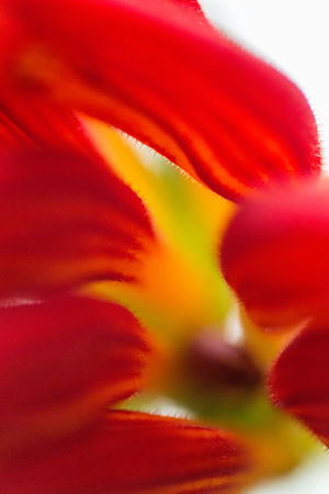 Abstract Aeschynanthus Aeschynanthus Speciosus Beauty In Nature Botany Close-up Creative Extreme Close-up Flower Flower Head Flowering Plant Fragility Growth Inflorescence Liana Nature No People Orange Color Plant Red Red And Yellow Selective Focus Soft Focus Vulnerability  Yellow