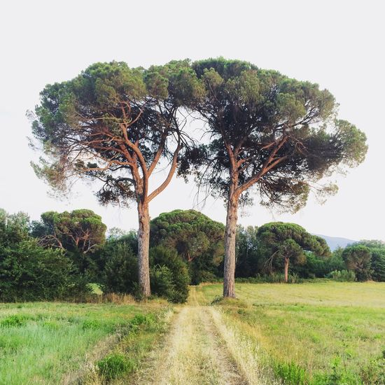 Two pine trees. Tuscany, Italy. Photo by Tom Bland. Landscape Trees Pine Trees Field Outdoors Tranquil Scene Toscana Tuscany Tuscany Countryside Idyllic Arezzo Beautiful Italy IPhoneography IPhone Scenics Europe Two Is Better Than One Two Pair Path Pathway Rural Countryside