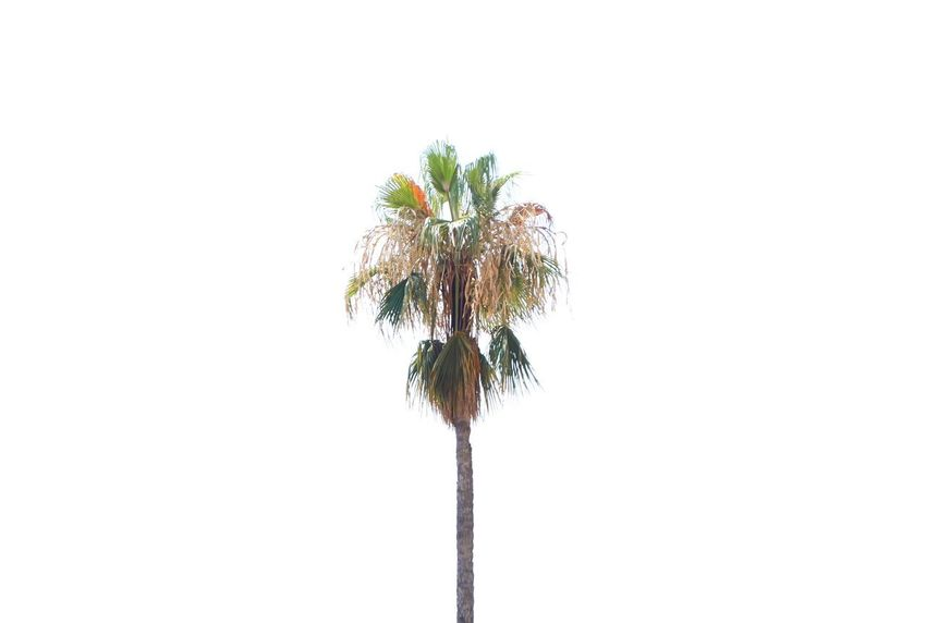 Palmtree Wanderlust Vacations Plant Copy Space Flower Nature Flowering Plant No People Tree Christmas Freshness Outdoors Celebration Beauty In Nature White Background Decoration Growth Flower Head Studio Shot Close-up Holiday Sky