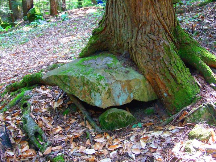 Tree roots growing around a rock Rock Rock In Tree Beauty In Nature Close-up Day Embedded Embedded In Nature Embedded Rock Forest Leaf Nature No People Oddity Outdoors Rock - Object Rock Tree Rock Tree Roots Path Sun Ray Stump Tranquility Tree Tree Trunk