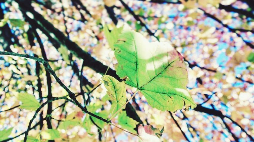Leaf Growth Nature Plant Close-up Green Color No People Outdoors Day Beauty In Nature Tree Branch Freshness Freshness Nature Selective Focus