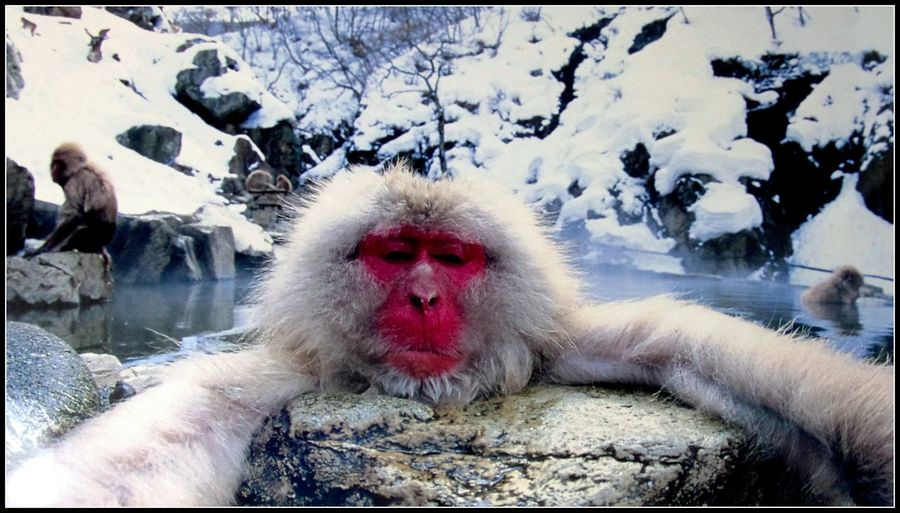 Animal Themes Cold Temperature Japan Jigokudani Snow Monkey Park Shibu Onsen Snow Monkey Snowing ❄ Travel Photography Wildlife
