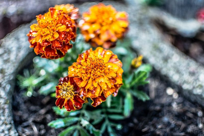 Just a picture of a marigold. Something to color up our grey lives. via http://www.rhme.de/marigold/ Colorful Picoftheday Flower Nikon