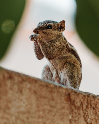 Animal Animal Themes One Animal Mammal Vertebrate Animal Wildlife Rodent Animals In The Wild No People Selective Focus Close-up Squirrel Day Focus On Foreground Looking Brown Nature Pets Chipmunk Domestic Whisker