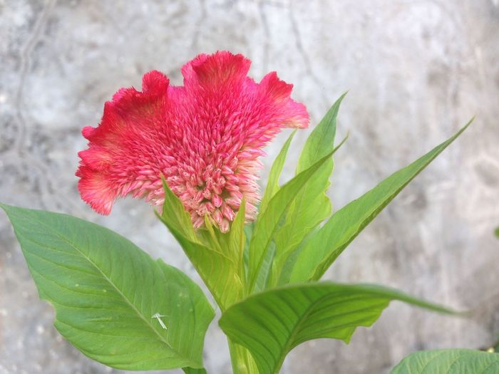 Amaranthaceae flower Plant Flower Flowering Plant Fragility Close-up Vulnerability  Leaf Plant Part Freshness Flower Head Growth No People Petal Focus On Foreground
