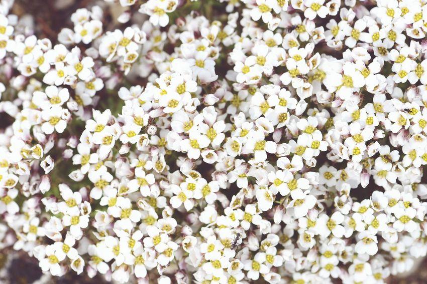 white rockcress blossom. natural fullframe background. arabis. Plant Background Natural Background Springtime Natural Texture Fullframe Background White Flower White Flowers Arabis Rockcress