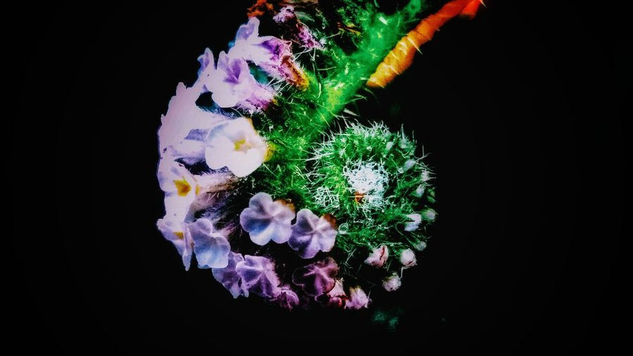 Black Background Pencil Shavings Studio Shot Multi Colored Close-up Blooming Flower Head Dahlia Single Flower Cosmos Flower Osteospermum Pink Fragility In Bloom Floating In Water Rosé Hibiscus