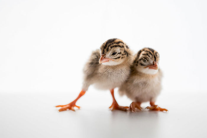 Guinea Fowl Keet few hours after birth. They were under their mum to get warm and dry before this shot. Animal Cute Baby Guinea Fowl Keet Nature Studio Shot White Background Young Animal
