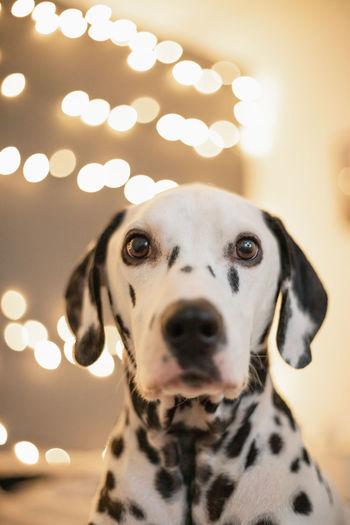 Snowflakethedalmatian Dogs #EyeEmNewHere EyeEm Best Shots EyeEm Selects EyeEm Gallery EyeEmBestPics EyeEm Best Edits Dogs Of EyeEm Dogportrait Doggy Domestic Animals Puppy Dalmatian Dog