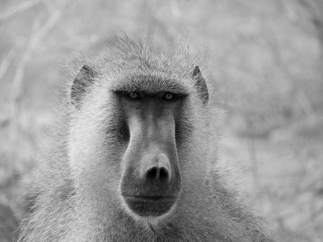 Black & White Kenya Wildlife & Nature Wildlife Photography Africa African Beauty African Safari Animal Themes Animal Wildlife Animals In The Wild B&w Photography Baboon Baboon Portrait Close-up Hell's Gate Hell's Gate National Park Monkey Nature One Animal Outdoors Portrait Wildlife Wildlife_perfection