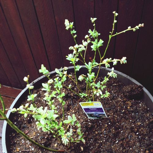 Blueberries Streamzoo Family plants