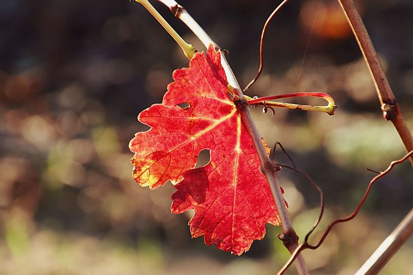 Red Plant Close-up Nature Leaf Focus On Foreground Growth Plant Part Beauty In Nature Autumn Change Branch