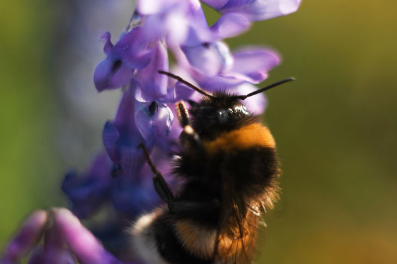 Animal Themes Beauty In Nature Bumblebee Close-up Flower Insect Selective Focus