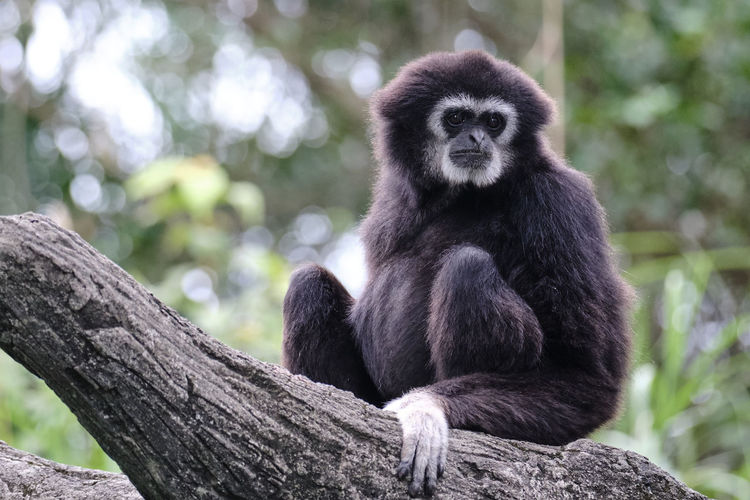 Animal Wildlife Mammal Primate Tree Focus On Foreground Sitting Nature Forest Ape Spider Monkey