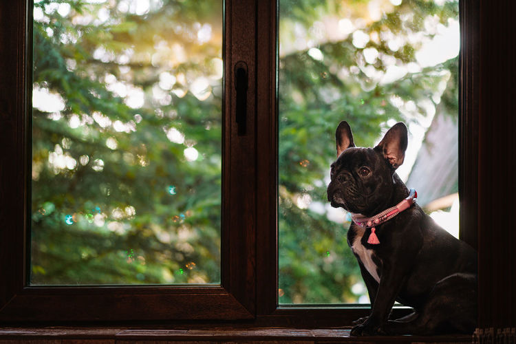 View of a french bulldog dog looking through window against coniferous tree and sunbeam