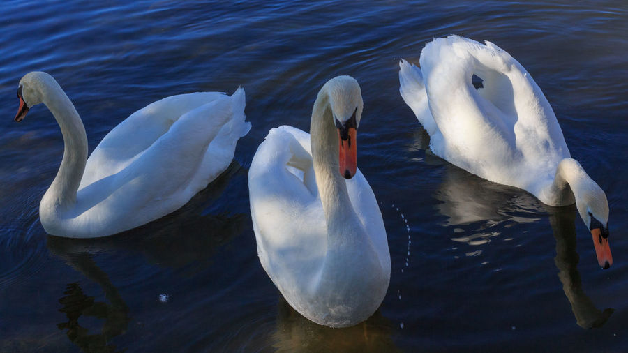 Swan Art. Three Beautiful Swans Elegant Light Love Shape Swans Art Beak Bird Blue Chastity Different Graceful Group Of Animals Neck Pose Purity Shadow Sumbol Swimming Three Togetherness Trio Variety Water Wings