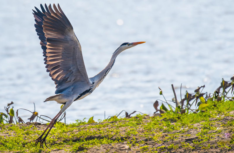 Gray Heron bird
