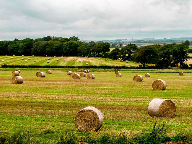 Freshly rolled round hay bales to be used as animal fodder Agriculture Bale  Beauty In Nature Cloud - Sky Day Field Grass Hay Hay Bale Landscape Nature No People Outdoors Rolled Up Rural Scene Sky Tranquil Scene Tranquility Tree