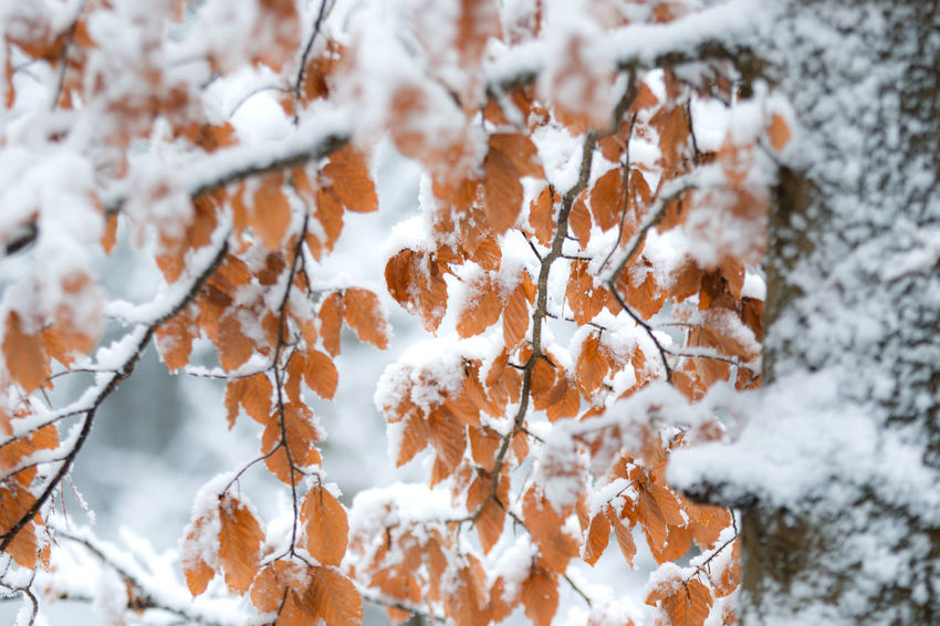 Winter leaves Beauty In Nature Beech Leaves Beech Leaves With Snow Branch Close-up Cold Temperature Day Field Focus On Foreground Forest Fragility Freshness Frozen Growth Nature No People Outdoors Plant Scenics Sky Snow Snowing Tranquility Tree Weather White Color Winter