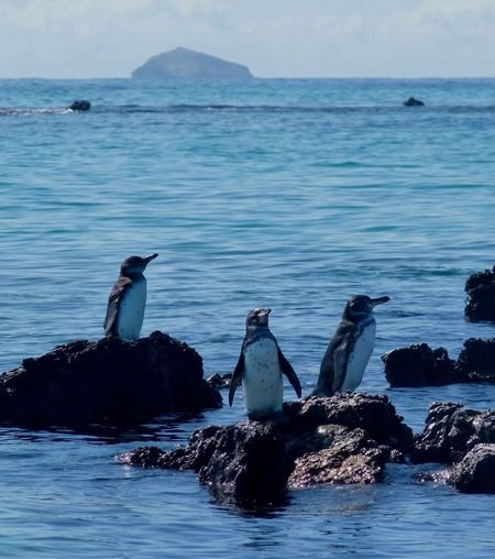 Penguins Aquatic Bird Perching Rocks Galapagos Penguin Landscape Seascape Island Three Animals Galapagos Islands Water Animals In The Wild Sea Animal Themes Nature Beauty In Nature Bird Animal Wildlife Horizon Over Water No People Scenics Outdoors Day Sky Swan