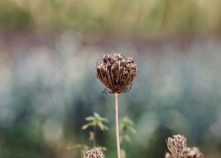 """""""Wild Carrot"""" against abstract field Autumn Beige Colors Earth Field Life Queen Anne's Lace The Week On EyeEm Beauty In Nature Change Close-up Fall Fine Art Flower Flower Head Focus On Foreground Fragility Growth Nature Outdoors Plant Season  Thistle Wild Carrot Wilted Plant Autumn Mood"""
