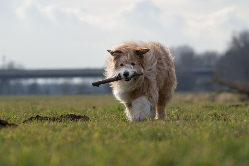 Field Nature Running Animal Animal Themes Day Dog Domestic Animals Field Grass Mammal Movement Nature No People One Animal Outdoors Pet Pets Sky