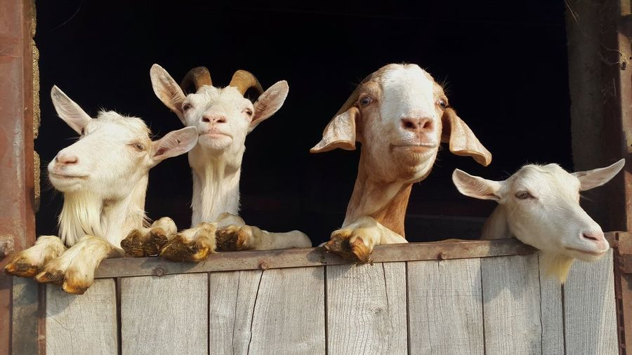 Goats leaning on wooden wall at farm