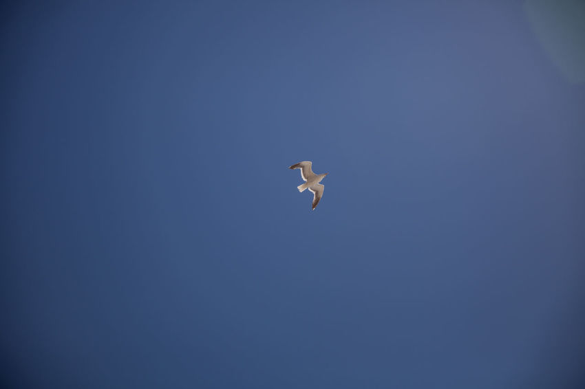 Animal Animal Themes Animal Wildlife Animals In The Wild Beauty In Nature Bird Blue Clear Sky Copy Space Day Flying Low Angle View Mid-air Nature No People One Animal Outdoors Seagull Sky Spread Wings Vertebrate