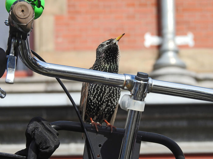 Starling (Sturnus vulgaris) in spring is singing on a bicycle handlebar in the middle of the city of Amsterdam Amsterdam Happy Singing Sturnus Vulgaris Animal Animal Themes Animal Wildlife Animals In The Wild Bicycle Bicycle Handlebar Bicycle Rack Bird Close-up Handlebar Happy Time No People One Animal Singing Bird Starling Transportation