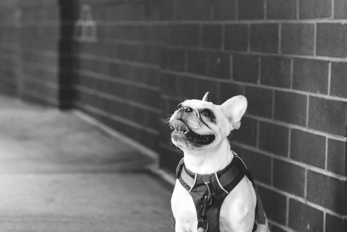 #Frenchie #dog #focusontheforeground #french Bulldog #frenchbulldog #frenchi #dog #pet #chihuahua #happy #mammal #panting #pet #small Dog New York Animal Themes Day Dog Domestic Animals Mammal No People One Animal Outdoors Pets