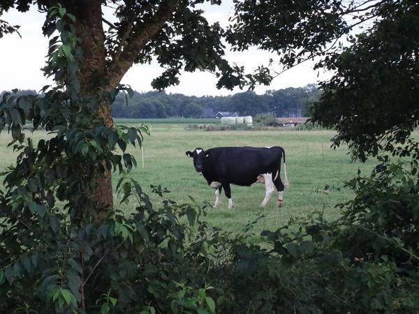 Animal Themes Cattle Cow Day Farm Field Grass Grazing Herbivorous Holland Livestock Milk Standing Overijssel The Purist (no Edit, No Filter)