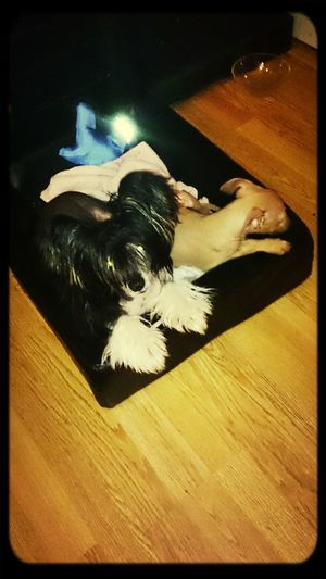 Sweden Chinescrestedhairless Italiengreyhound Dogs