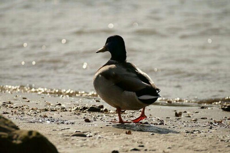 Duck Kacsa Duna Danube River Riverside