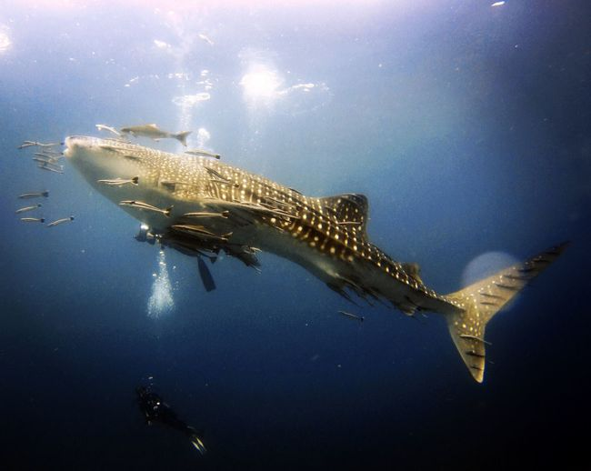 Definitely the highlight of the trip. Kohtao Holiday Thailand Scubadive Diving Underwater Animals In The Wild Sea Life Animal Themes Swimming Water UnderSea Nature Sea Whale Shark Outdoors Beauty In Nature The Great Outdoors - 2018 EyeEm Awards My Best Travel Photo The Great Outdoors - 2019 EyeEm Awards