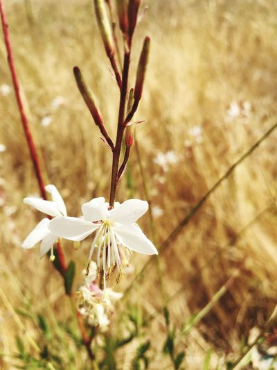 Plant Flower Flowering Plant Close-up Fragility Vulnerability  Growth Beauty In Nature Focus On Foreground Freshness Nature No People White Color Petal Day Inflorescence Flower Head Plant Stem Outdoors Springtime