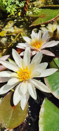Close-up of white water lily in pond