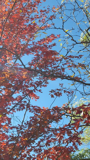 Autumn Glory Autumn Colours Fall Foliage Red Leaves Tree Branch Orange Color Leaf Maple Leaf Low Angle View Sky Full Frame Outdoors Growth Blue Day Nature Freshness Backgrounds No People Beauty In Nature
