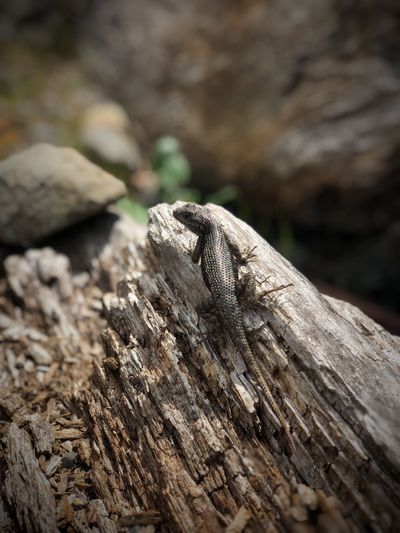 Lounging Lizard